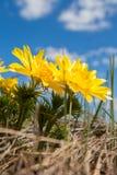 Flores amarillas de Adonis Imagen de archivo libre de regalías