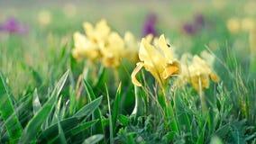 Flores amarillas de iris salvajes metrajes