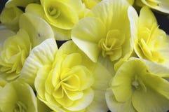 Flores amarillas de la begonia Imagen de archivo libre de regalías