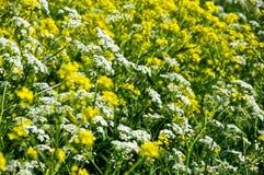 Flores amarillas de la colza Imagen de archivo libre de regalías