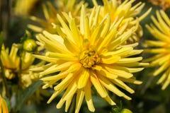Flores amarillas de la dalia en jardín Fotos de archivo