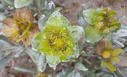 Flores amarillas de la duna de arena en Namibia Imágenes de archivo libres de regalías