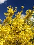Flores amarillas de la estrella fotografía de archivo