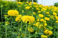 Flores amarillas de la maravilla Foto de archivo libre de regalías