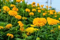 Flores amarillas de la maravilla Fotografía de archivo libre de regalías
