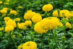 Flores amarillas de la maravilla Imagen de archivo