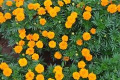 Flores amarillas de la maravilla fotos de archivo
