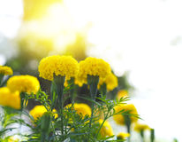 Flores amarillas de la maravilla Imagenes de archivo