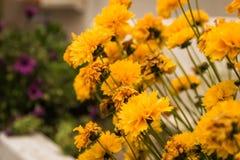 Flores amarillas de la maravilla imagen de archivo libre de regalías