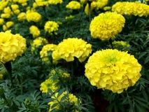 Flores amarillas de la maravilla en el parque Foto de archivo