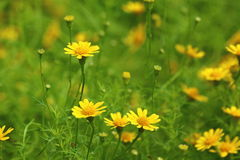 Flores amarillas de la margarita imagenes de archivo