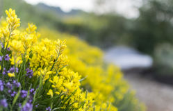 Flores amarillas de la montaña Foto de archivo libre de regalías