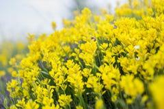 Flores amarillas de la montaña Imágenes de archivo libres de regalías