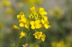 Flores amarillas de la mostaza Imágenes de archivo libres de regalías