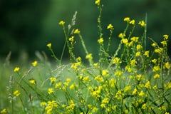 Flores amarillas de la mostaza en cierre borroso campo verde del fondo para arriba, macro de las flores de la planta de la brassi imagenes de archivo