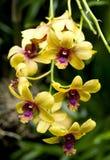 Flores amarillas de la orquídea Imagen de archivo libre de regalías
