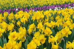 Flores amarillas de la primavera Imagen de archivo libre de regalías