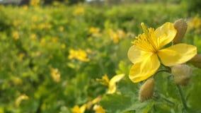 Flores amarillas de la primavera Foto de archivo