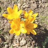 Flores amarillas de la primavera Foto de archivo libre de regalías