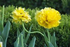 Flores amarillas de la primavera de los tulipanes Foto de archivo