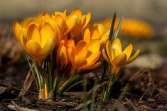 Flores amarillas de la primavera del azafrán Imagen de archivo