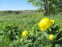 Flores amarillas de la primavera en el bosque ruso fotografía de archivo libre de regalías