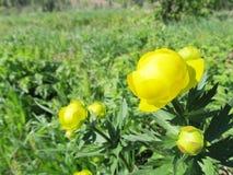 Flores amarillas de la primavera en el bosque ruso imagen de archivo