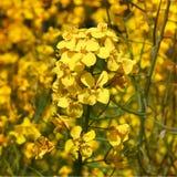 Flores amarillas de la rabina imágenes de archivo libres de regalías