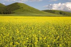 Flores amarillas de la violación foto de archivo