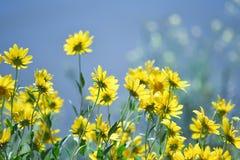 Flores amarillas de los Arcana de las colinas Imágenes de archivo libres de regalías
