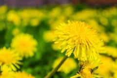 Flores amarillas de los dientes de león en el campo Fotografía de archivo