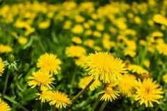 Flores amarillas de los dientes de león en el campo Foto de archivo