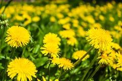 Flores amarillas de los dientes de león en el campo Imagen de archivo