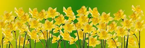 Flores amarillas de los narcisos (narciso), cierre para arriba, fondo de la pendiente, aislado Foto de archivo libre de regalías