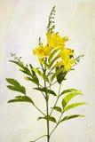 Flores amarillas de los radicans de Campsis Imagen de archivo libre de regalías