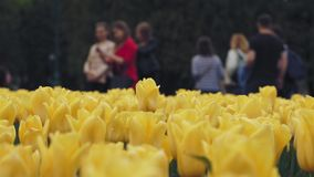 Flores amarillas de los tulipanes de la primavera hermosa en macizo de flores verde en ciudad metrajes