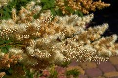 Flores amarillas de Rodgersia pinadas en la floración con las abejas Foto de archivo