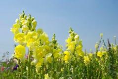 Flores amarillas de Snapdragon bajo el cielo azul Fotos de archivo libres de regalías