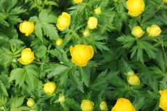 Flores amarillas de un ½ europeo del ¿del europaï del llius del ½ del ¿de Trï del swimsuitt nosotros en un claro del bosque fotos de archivo libres de regalías