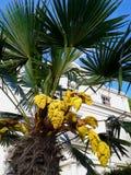 Flores amarillas de una palmera Imágenes de archivo libres de regalías
