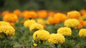 Flores amarillas debajo de la lluvia metrajes