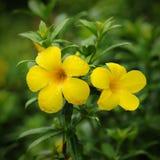 Flores amarillas del allamanda Fotos de archivo