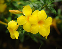 Flores amarillas del allamanda Foto de archivo libre de regalías
