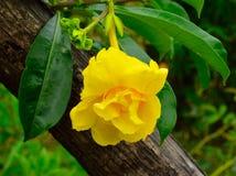 Flores amarillas del allamanda Fotografía de archivo