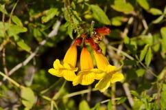 Flores amarillas del allamanda Foto de archivo