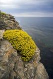 Flores amarillas del Alyssum del arbusto Fotos de archivo libres de regalías