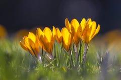 Flores amarillas del azafrán de la primavera en la madrugada, Londres, Reino Unido Fotos de archivo