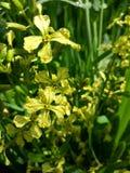 Flores amarillas 2 del bebé fotografía de archivo