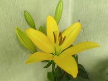 Flores amarillas del bulbo Fotos de archivo libres de regalías