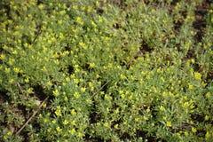 Flores amarillas del butterwort curveseed Fotos de archivo
